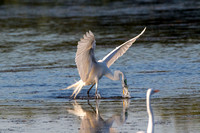 Needlefish Attacks Egret