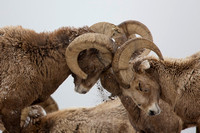Rocky Mountain Bighorns (Ovis canadensis)